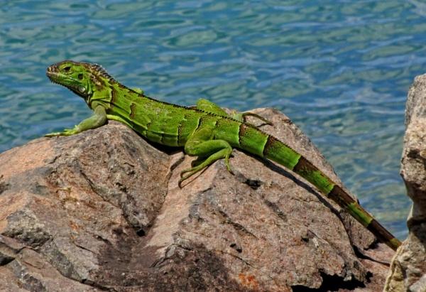 Green Iguana by ANNDORASBOX