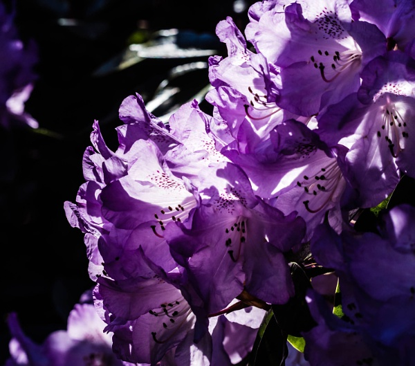 Purple Rhododendron by cats_123