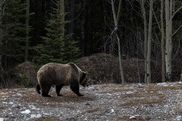 Hungry Bear by StrayCat