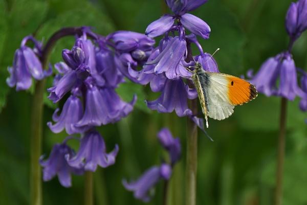Orange tip on bluebells. by georgiepoolie