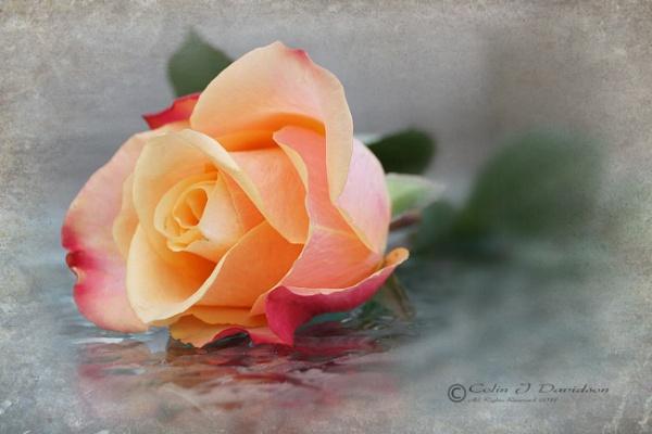 Rose by colijohn