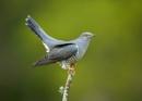Cuckoo by MossyOak