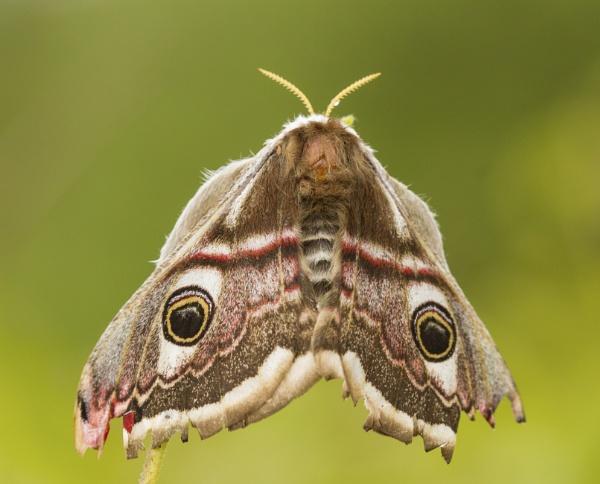 Emperor Moth by ali63
