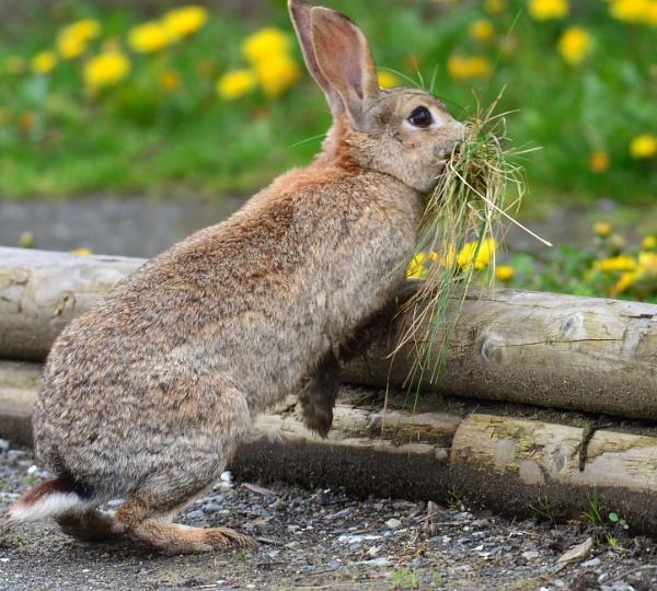 Bunny  the  Nest builder by tonyguitar
