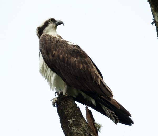 Osprey by Houba