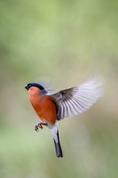 Hovering Bullfinch