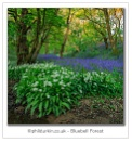 Bluebell Forest by Philpot