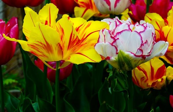 Tulips by Nikonuser1