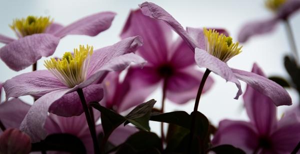 Clematis by Nikonuser1