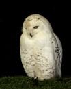 Snowy owl by terryxc