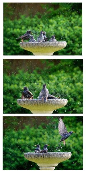 Bathtime Starling fashion by deavilin