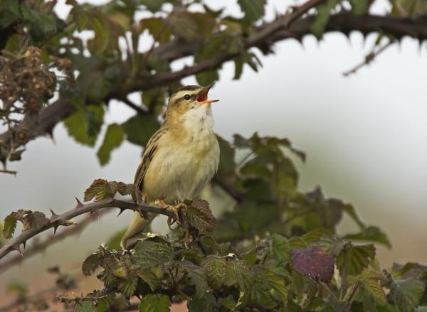 Sedge warbler (2) 2017 by ade123