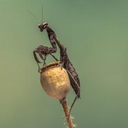 Praying Mantis - Kenyann