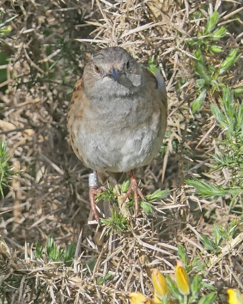 Dunnock by Ted447