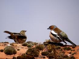 Chaffinches' courtship behaviour