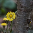 Coltsfoot by taggart