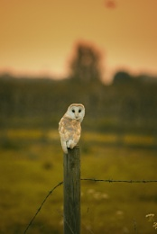 Photo : The Barn Owl