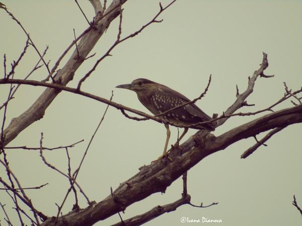 juv. Black crowned Night Heron - Nycticorax nycticorax by idiabb