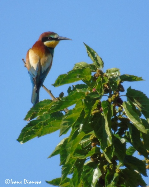 European bee-eater (Merops apiaster) by idiabb