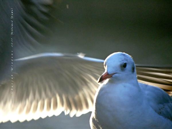 gulls by SharjahBirds