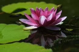 My Lily Pond
