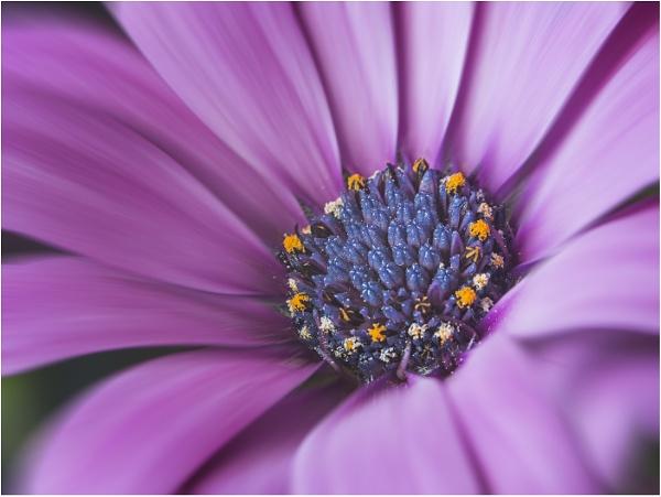 Osteospermum Detail by Leedslass1