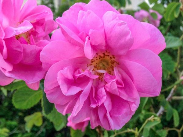Roadside Rose by geoffgt