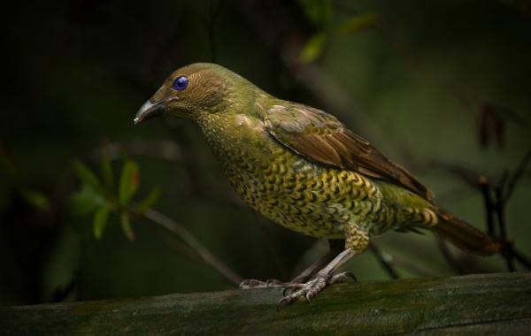 Female Bower Bird by BarryBeckham