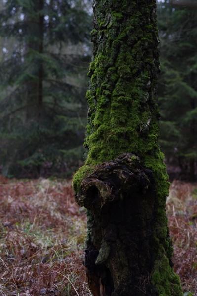 Mossy Birch by PentaxBro