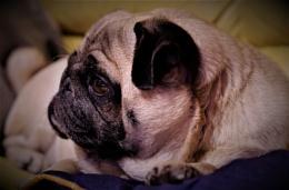 Pug watching DOG TV