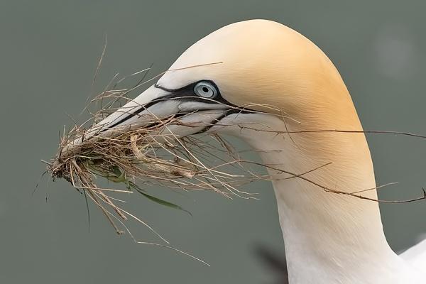 Gannet (Morus bassanus) by DerekL