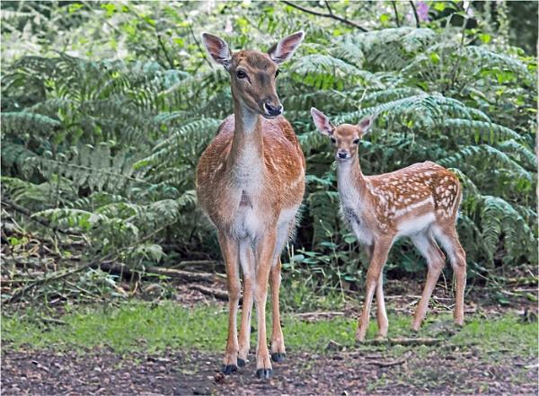 Fallow Deer by dven