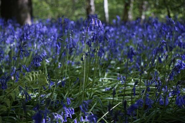 Bluebells by scottf75
