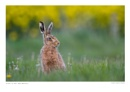 Hare in the Dandelions by running_man