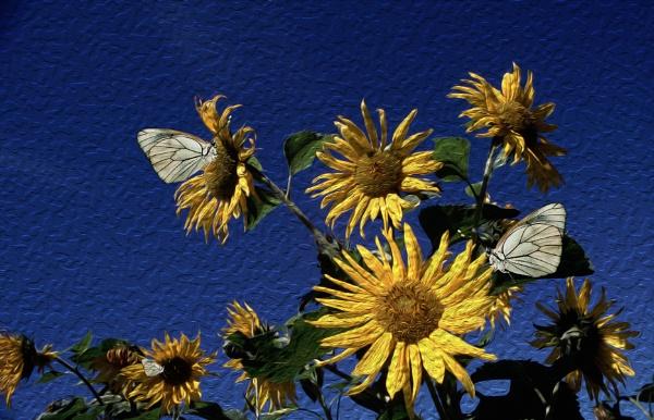 Butterflies on Sunflower. by Zydeco_Joe