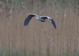 Herons in Flight