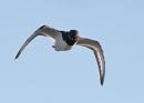 Oyster Catcher Cross beak by NeilSchofield