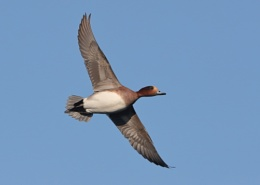 Pochards in Flight