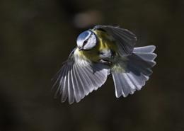 Blue Tits in Flight