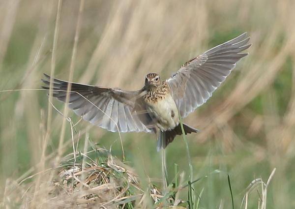 Skylarks in Flight by NeilSchofield