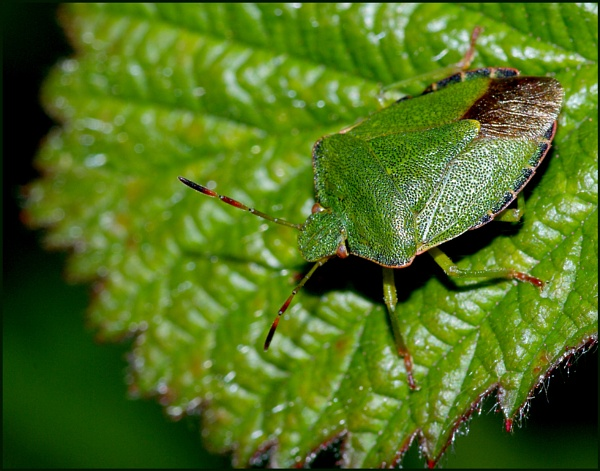 Green Shield Bug. by Badgerfred