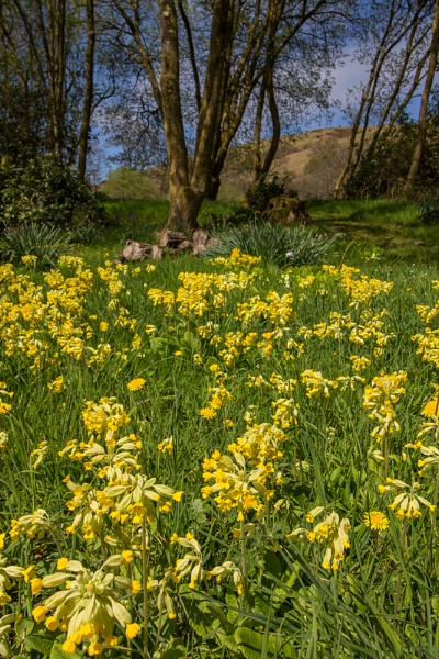 Cowslips by ChrisJP
