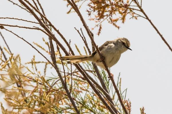 Graceful Prinia (Graceful Warbler) by WorldInFocus