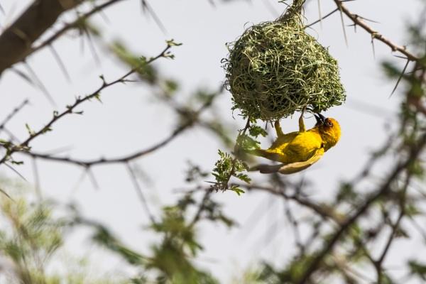Ruppell\'s Weaver Bird by WorldInFocus