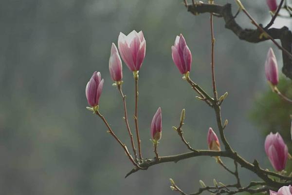 magnolias by Adam_photos