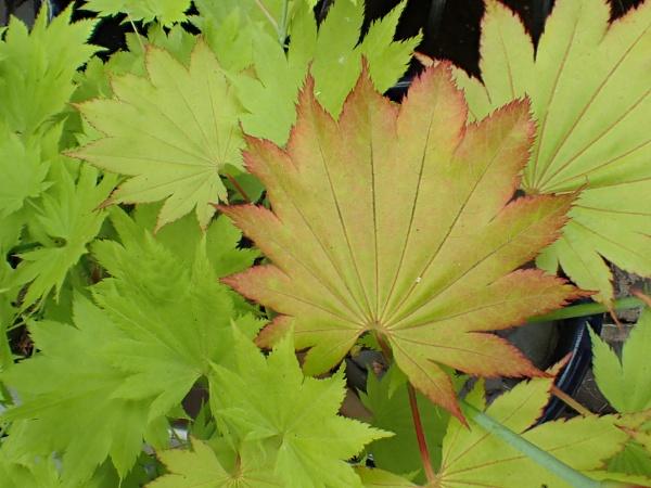 Acer shirasawanum \'Aureum\' by nclark