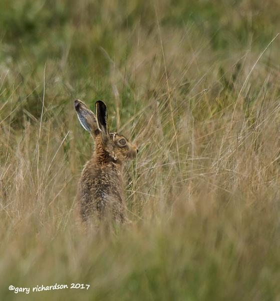 brown hare by dj_gary