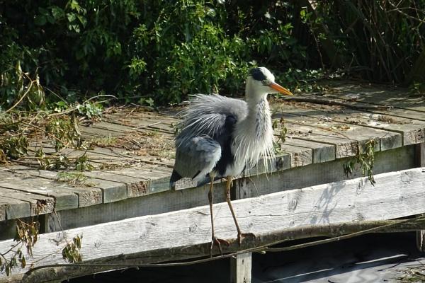 Clumber Heron