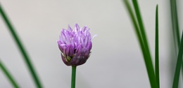 Chives  2