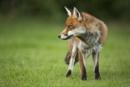 Male Fox by johnjo58